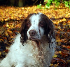 dog breed, animal, dog, boykin spaniel, welsh springer spaniel, large mã¼nsterlã¤nder, pet, small mã¼nsterlã¤nder, king charles spaniel, field spaniel, drentse patrijshond, setter, russian spaniel, english cocker spaniel, picardy spaniel, spaniel, french spaniel, english springer spaniel, carnivoran,
