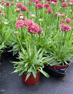 Armeria Red