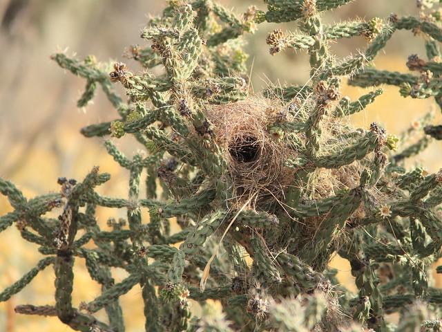 Cactus Wren nest 20111114