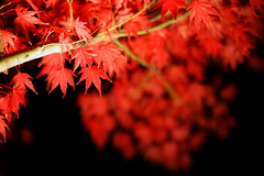 Maple's Red