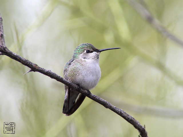 Costa's Hummingbird female @ Tucson AZ, Nov 2011