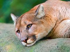 [フリー画像素材] 動物 1, 哺乳類, ピューマ ID:201112021000