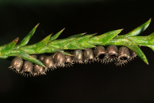 predatory stink bug egg cases