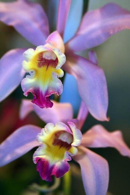 Orquídea Lc Walterae