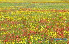 Stunning spring Texas wildflowers