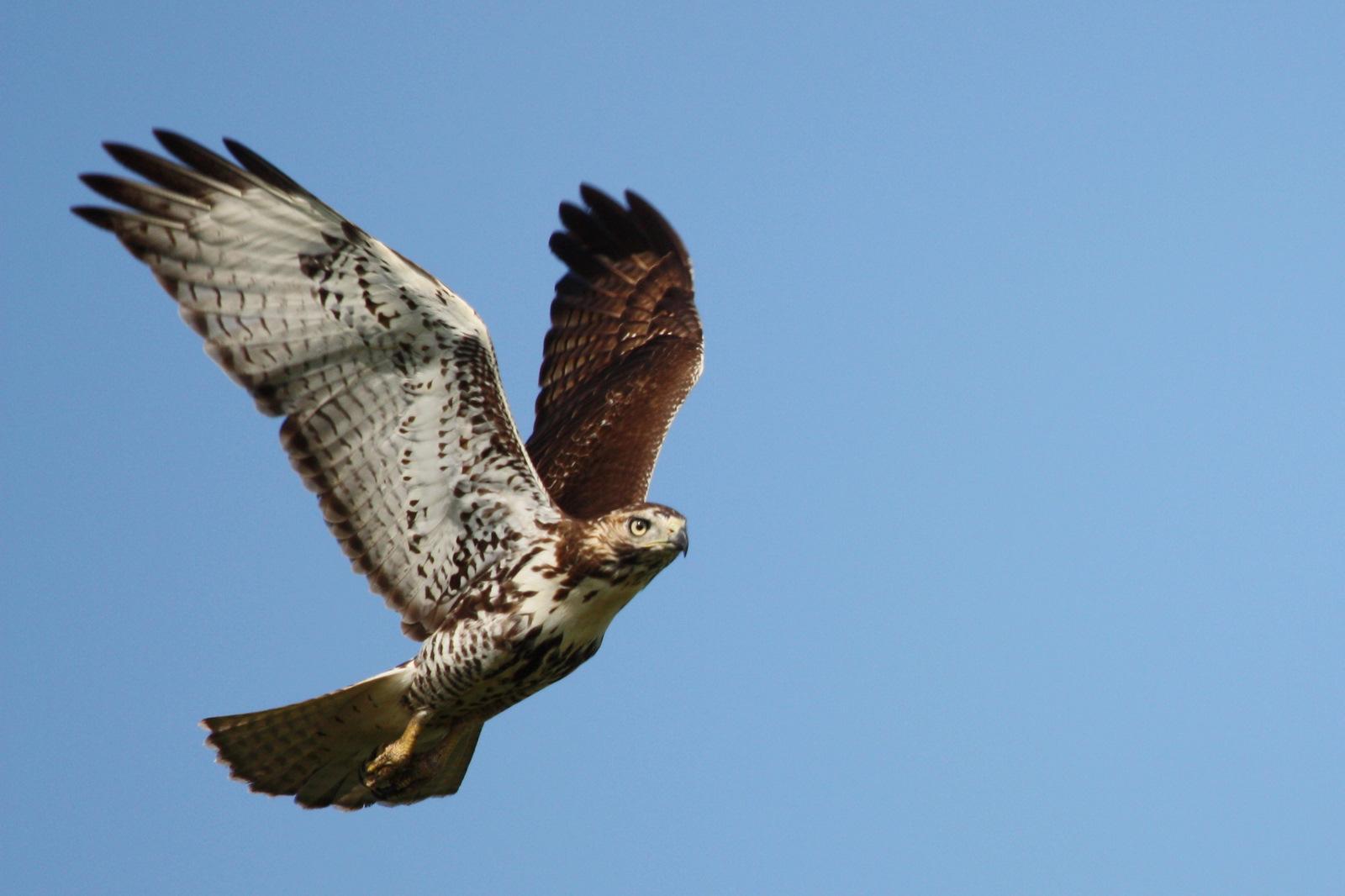 Image Result For Hawks In Flight