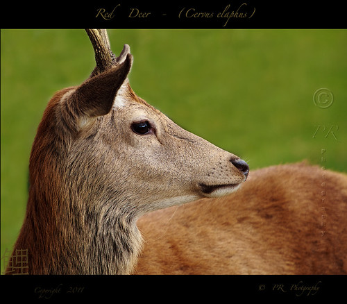 Red Deer - (Cervus-elaphus).