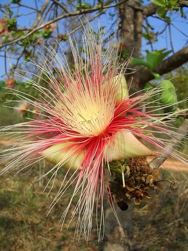 Careya arborea (Lecythidaceae)