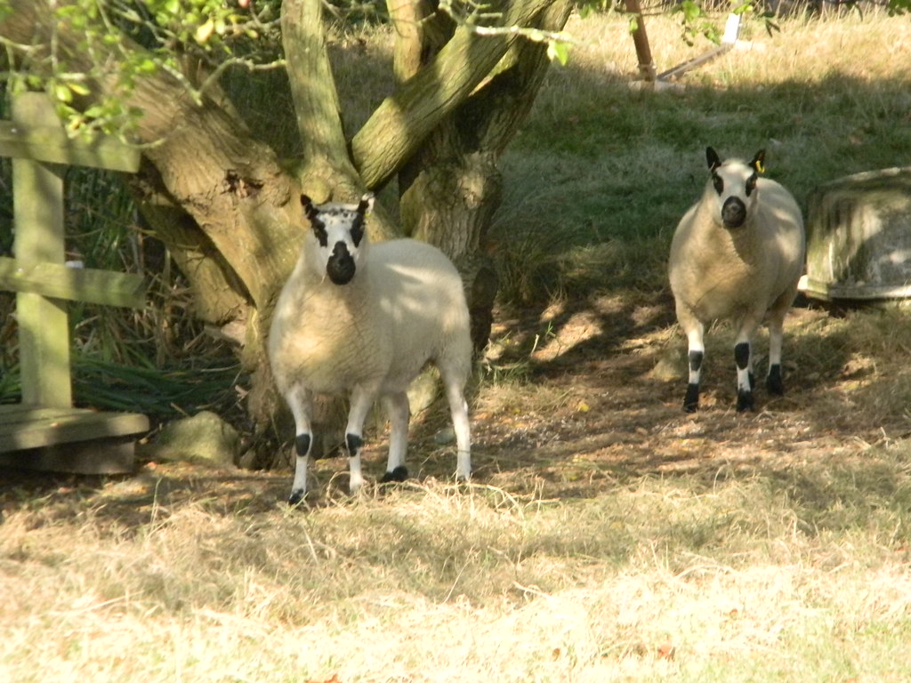 "Neighbourhood Watch Panda-faced ""Kerry Hill"" sheep monitor my every move. Ham Street to Appledore"