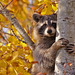 Raccoon...#18