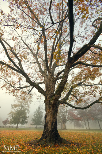 Foggy Tree