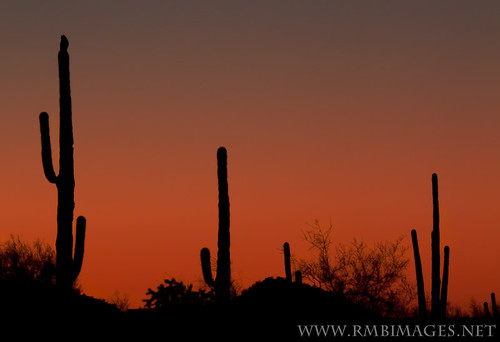 Perched on a Saguaro Sunset