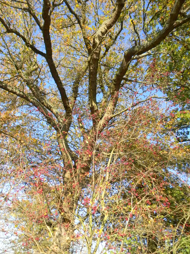 Spindle and other tree The other tree's ash, I think. Cant quite make out the leaves. Cowden (short) Circular