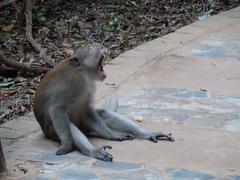 Monkey yawn