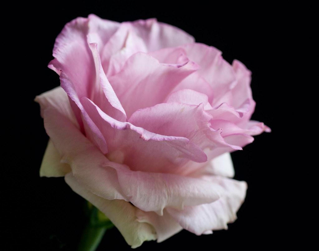 looks Like a Rose.................