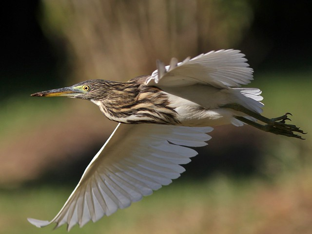 Indian Pond Heron in Flight