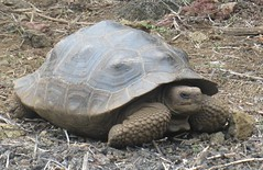 Anne's progress this week is comparable in speed to a Galapagos tortoise, but just like them, I'll get there eventually. (photo by A. Jefferson)