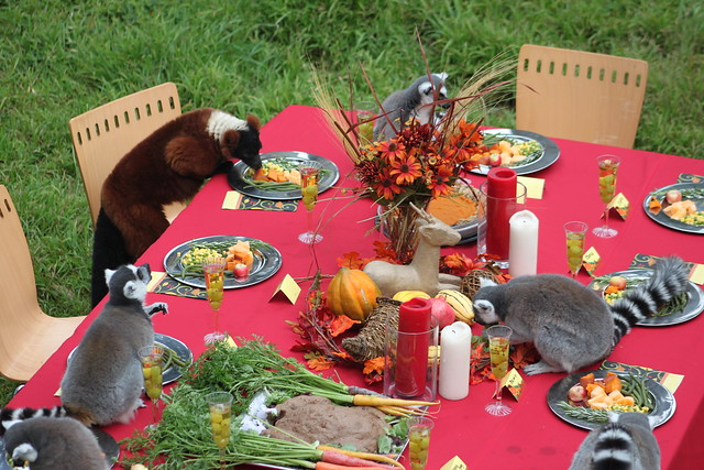 Lemur Feast at the San Francisco Zoo