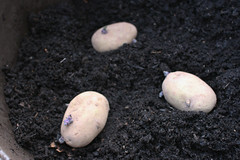 Kestrel Seed Potatoes