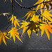 Bonsai Spring Leaves (Acer palmatum)