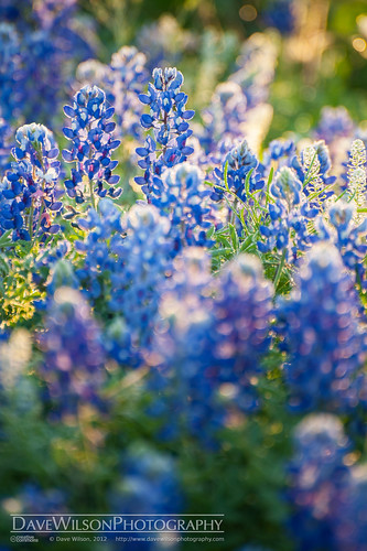 flower texas bluebonnet fabaceae wildflower llano lupinustexensis wolfmountain scoutranch