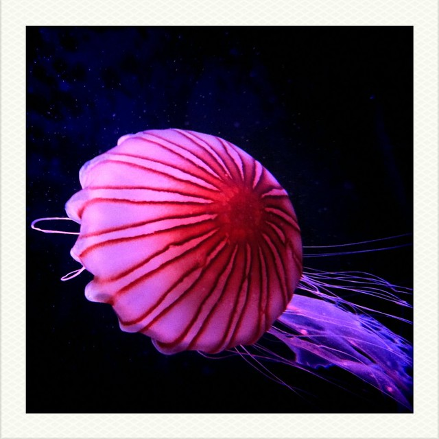 Beautiful Jellyfish