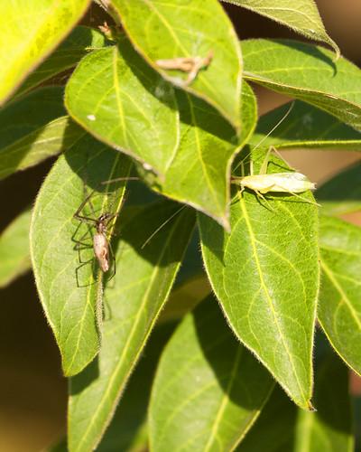10052011JGW-EmiquonClarkRoad-Spider-Katydid_MG_3717