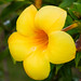 Small photo of Allamanda schottii