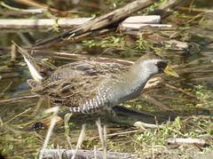 Sora,  Viera Wetlands, FL