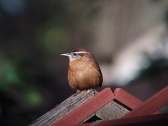 Carolina Wren, Lakeland, FL
