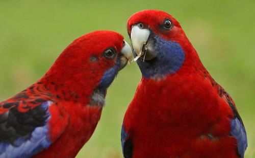 Crimson Rosellas Sharing