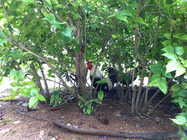 chicken in a bush