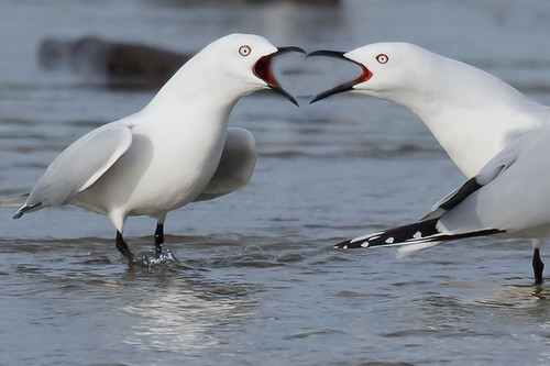Black Billed Gulls