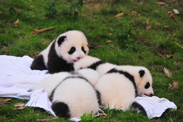 Baby Pandas 趴地熊貓