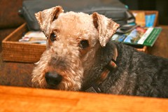 dog breed, animal, dog, schnoodle, pumi, pet, glen of imaal terrier, mammal, wire hair fox terrier, lakeland terrier, welsh terrier, irish terrier, scottish terrier, terrier, airedale terrier,
