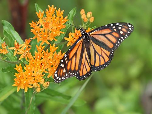 butterfly northcarolina monarch richmondcounty orangemilkweed asclepiastuberosa danausplexippus butterflymilkweed