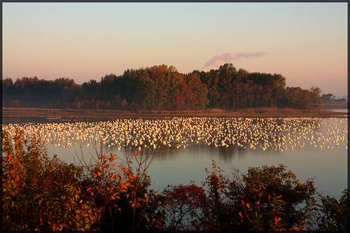Morning Snowgeese