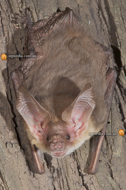 Gould's long-eared bat (Nyctophilus gouldi)