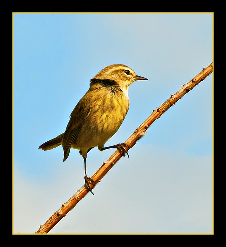 Windblown Palm Warbler
