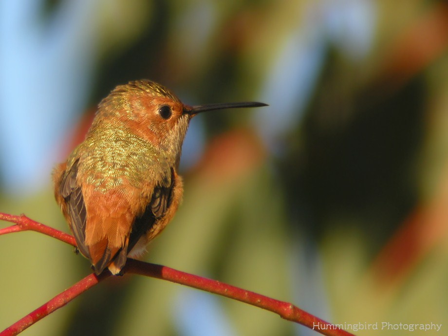 Allen's Hummingbird 112611-4