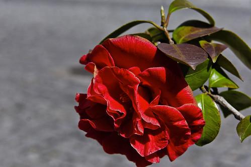 a nossa camélia - our camellia by @uroraboreal