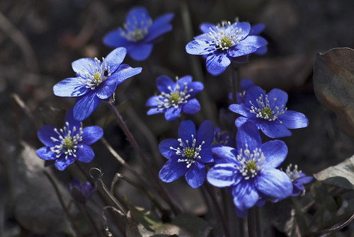 Blue anemone in my garden that stretches for the sun