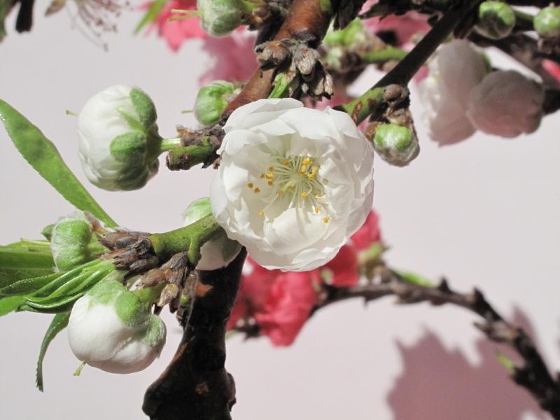 Bonsai : Potted peach tree