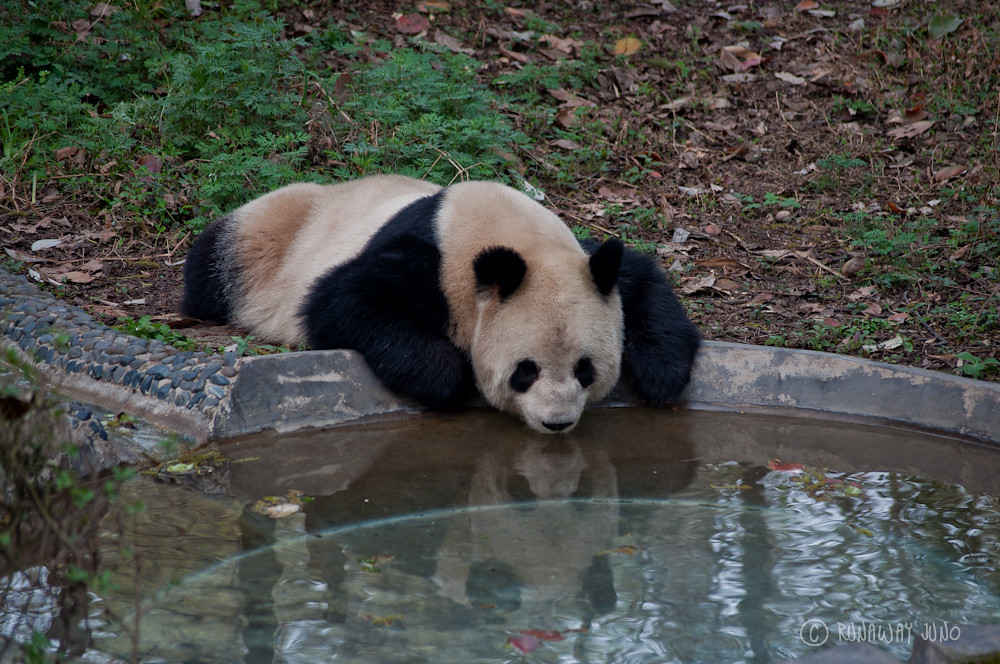 Panda_looking_reflection_Chengdu_Sichuan_China