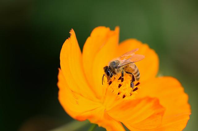 顾村公园一只辛勤的小蜜蜂
