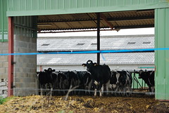 farm(0.0), cattle-like mammal(1.0), dairy(1.0), stall(1.0), stable(1.0), cattle(1.0),