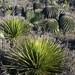 Palmas & biznagas - Palms & barrel cactus; al norte de Santiago Chazumba, Oaxaca, Mexico por Lon&Queta