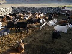 cattle-like mammal, animal, mammal, goats, herd, domestic goat, fauna,