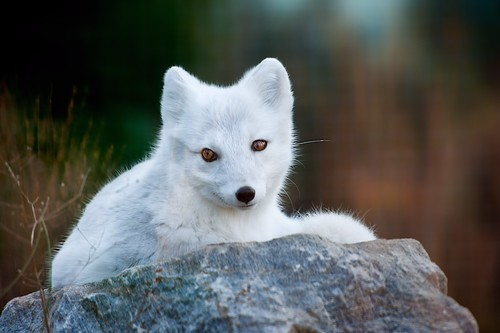 Northern White Fox
