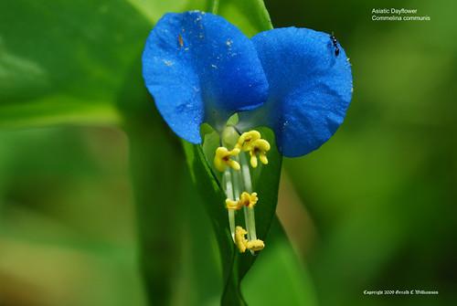 Asiatic Dayflower - Commelina communis